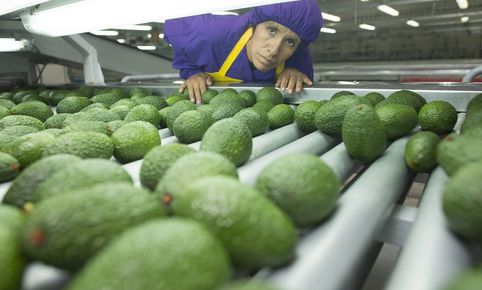 Perú se consolida como segundo proveedor mundial de paltas